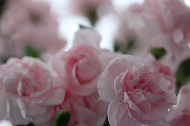 pink-carnations2